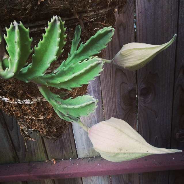 Finally forming buds... after years!!! #stapeliagigantea #carrionflower http://en.m.wikipedia.org/wiki/Stapelia_gigantea