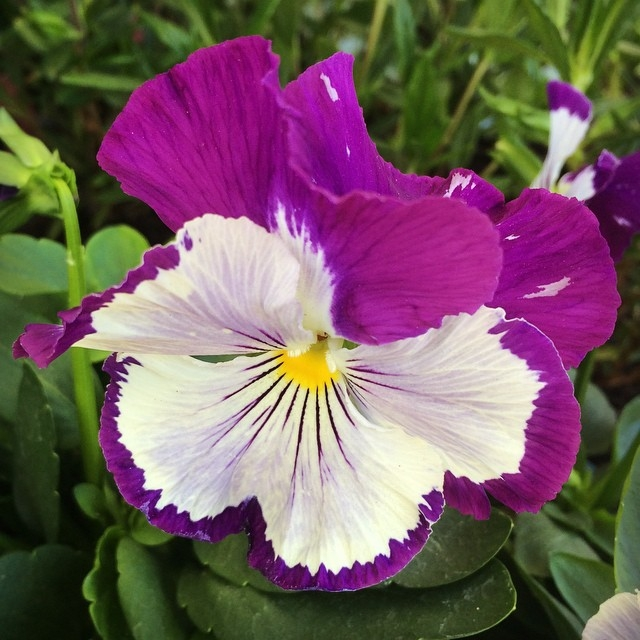 #whoppingpurplewhiskers #pansy #viola #flower #anniesannuals