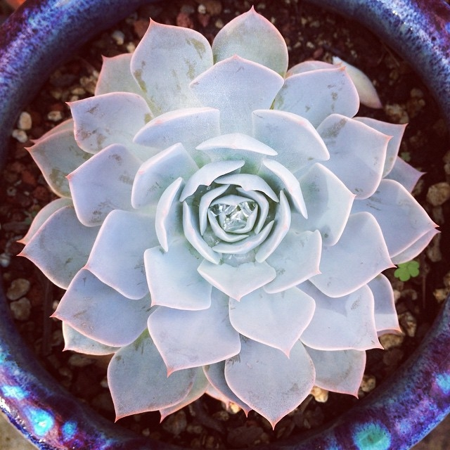 Echeveria 'Rosy Ghost'. Just in time for Halloween! #succulents