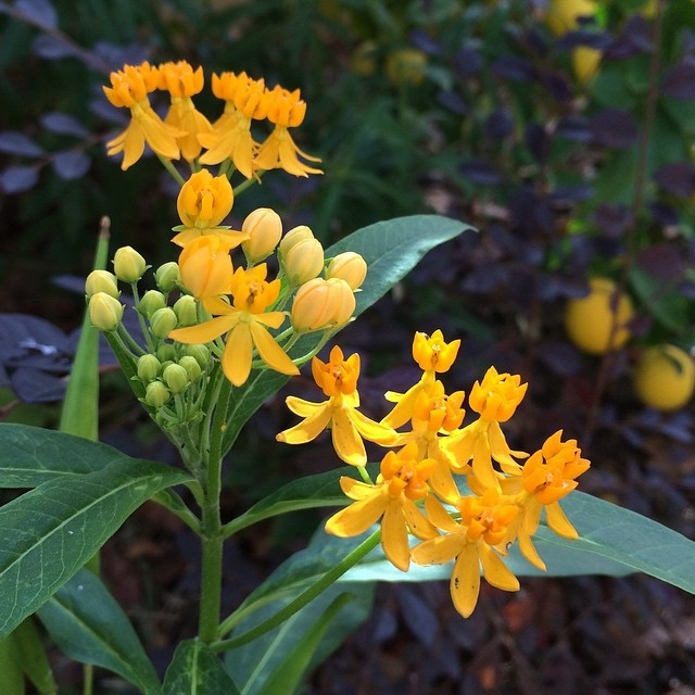 Asclepius curassavica 'Silky Gold' #milkweed #butterflyfriendly #nectarflower #butterflyflower #anniesannuals #diggingbliss
