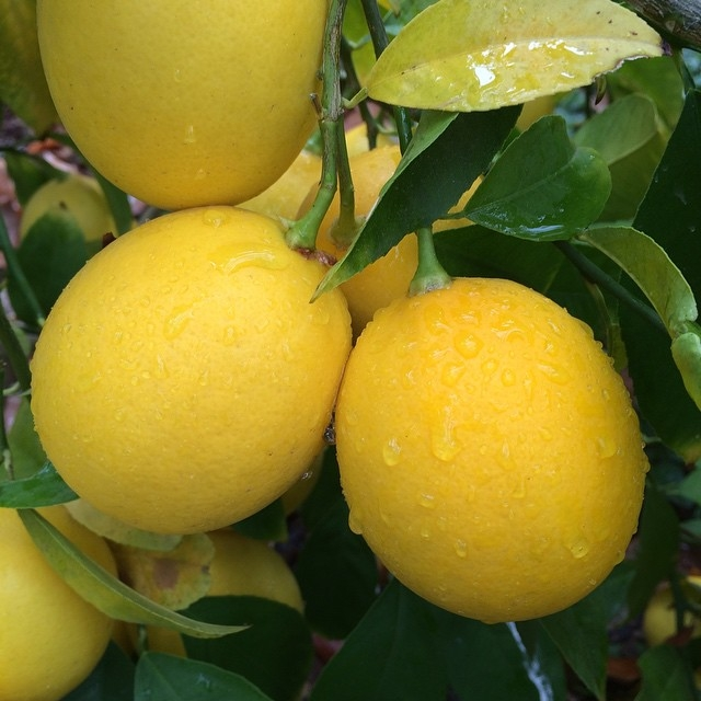 Bumper crop. #improvedmeyer #lemon #meyerlemons #diggingbliss